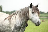 Nice grey fell pony mare on pasturage