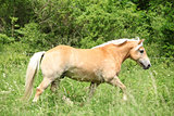 Haflinger running on pasturage