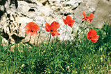 Wild poppies on the hillside