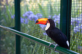 toucan on the fence