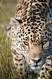 A jaguar prowling towards the camera in a game reserve