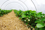 Greenhouse for strawberry cultivation