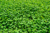 plantation of green clover