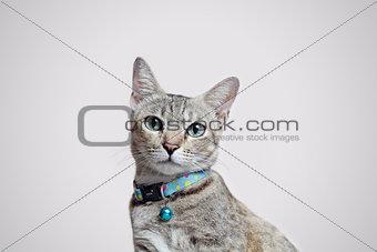 Gray cat sitting, close-up