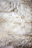 White sheep fur texture