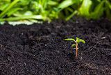 Seedling sprouting from the ground