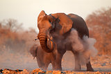 African elephant covered in dust