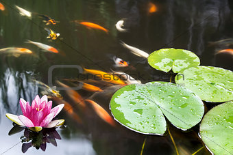 Lily Pad Pink Flower in Koi Pond