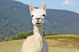 Cute, white alpaca portrait.