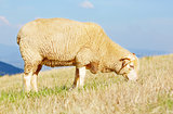 Sheep eating grass