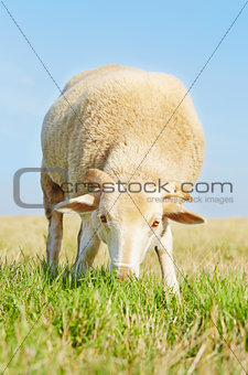 Cute young ram eating grass