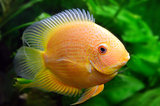 yellow aquarium fish