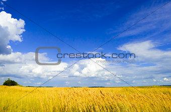 Beautiful Wheat Field under Dramatic Sky