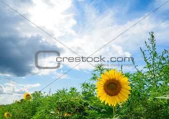 Beautiful Bright Sunflower in the Green Field