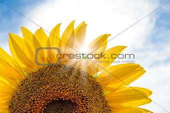 Bright Sun Shines Through the Petals of Beautiful Sunflower