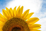 Beautiful Bright Sunflower Against a Blue Sky