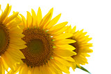 Beautiful Bright Sunflowers on the White Background