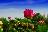 Pink Lotus Flower Amid the White Sand Dunes