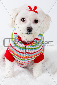 Winter puppy dog wearing striped jumper