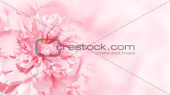 Flower of peony