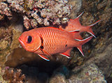 Blotcheye soldierfish on a coral reef