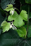 young shoots of grapes