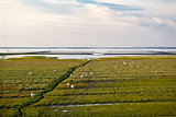 sheep on the swamp mood by north sea