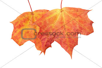 autumn mapple leaves