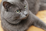 british shorthair cat close up portrait