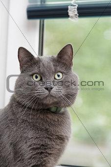 british shorthair cat close up portrait