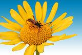 Longhorn beetle macro