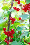 Bunches of red currants on the bush