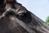 Eye of a black horse