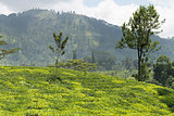 Fresh green Ceylon tea plantation field at mountains