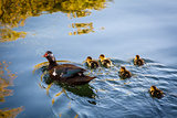 Duck and Baby Ducklings in the Water, Split, Croatia
