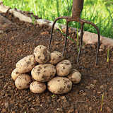 Potato harvest in a vegetable garden