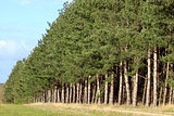 row of firs