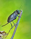 Bradyporus dasypus