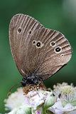 Ringlet Butterfly (Aphantopus hyperantus) on Bramble Blossom