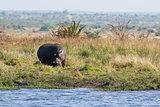 Hippopotamus - Hippopotamus amphibius
