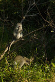 Vervet monkeys - Chlorocebus pygerythrus