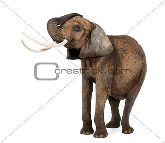 African elephant lifiting its trunk, standing, isolated on white