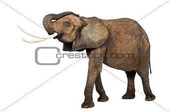 African elephant lifting its trunk, standing, isolated on white