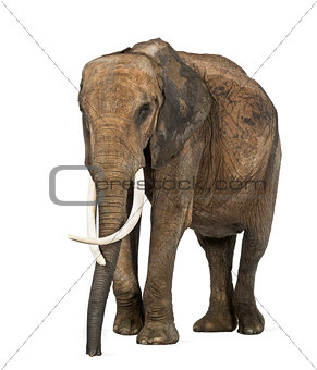 African elephant, isolated on white