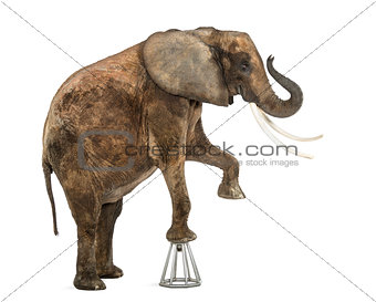 African elephant performing, standing up on a stool, isolated on