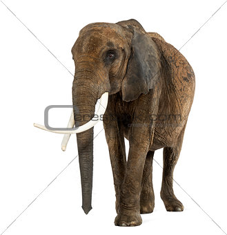 African elephant standing, isolated on white