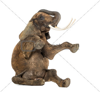 African elephant performing, seated on the floor, trunk up, isol