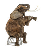African elephant performing, seated on a stool, isolated on whit