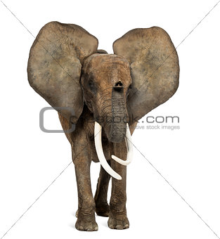 African elephant standing, ears up, isolated on white