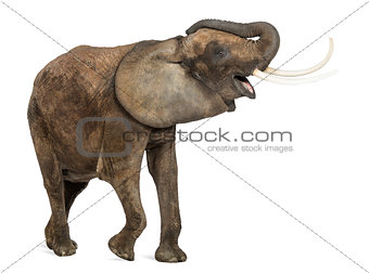 African elephant trumpeting, looking happy, isolated on white